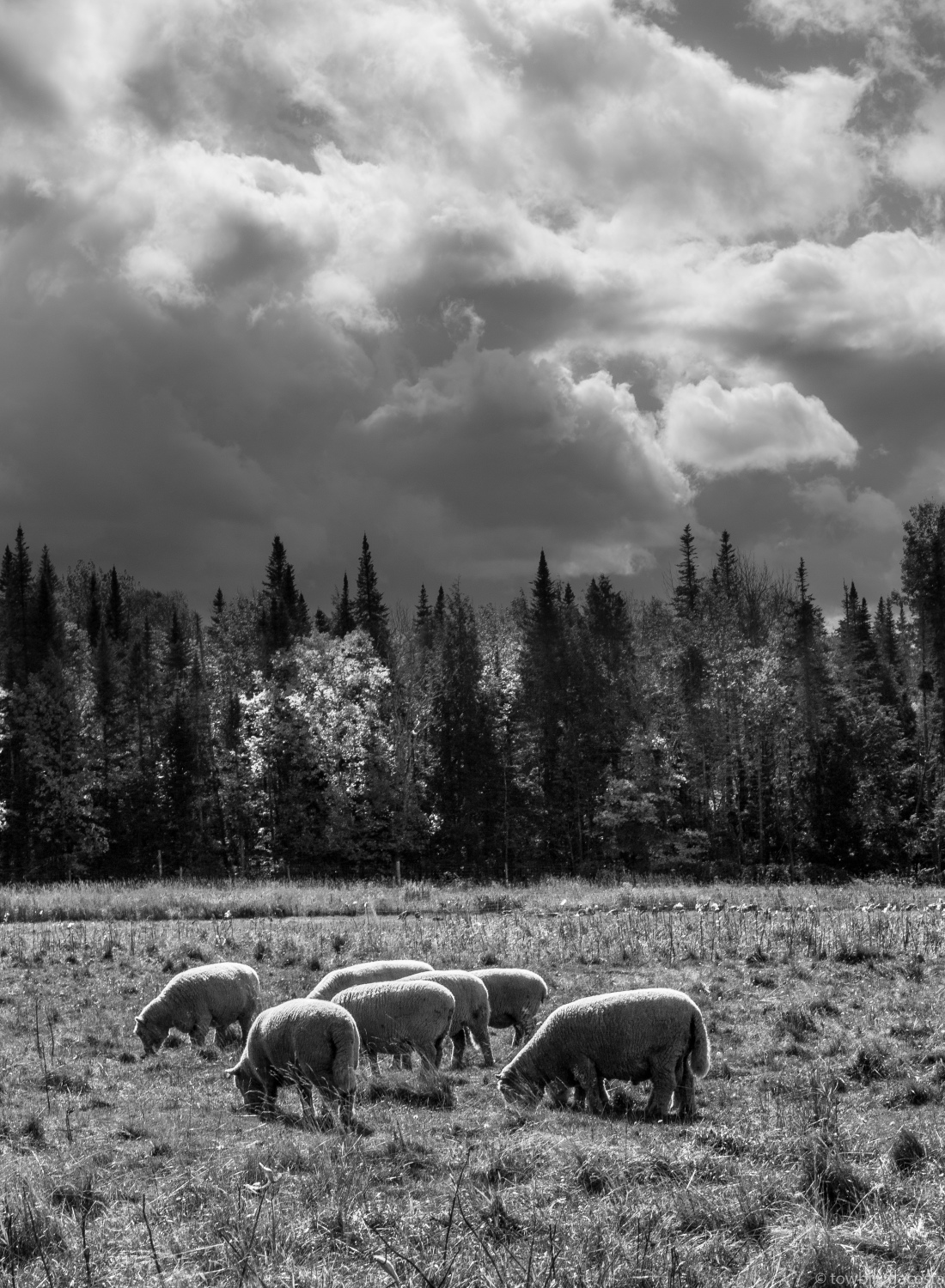 sheep grazing 2 half late fall_.jpg
