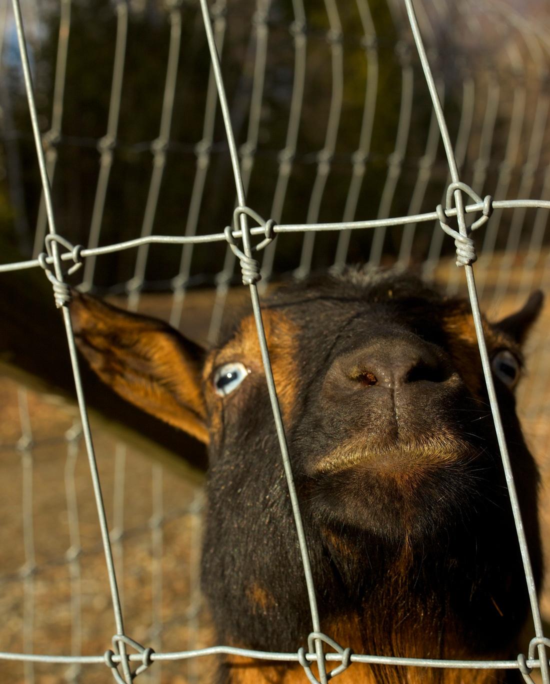 goat cu jpeg