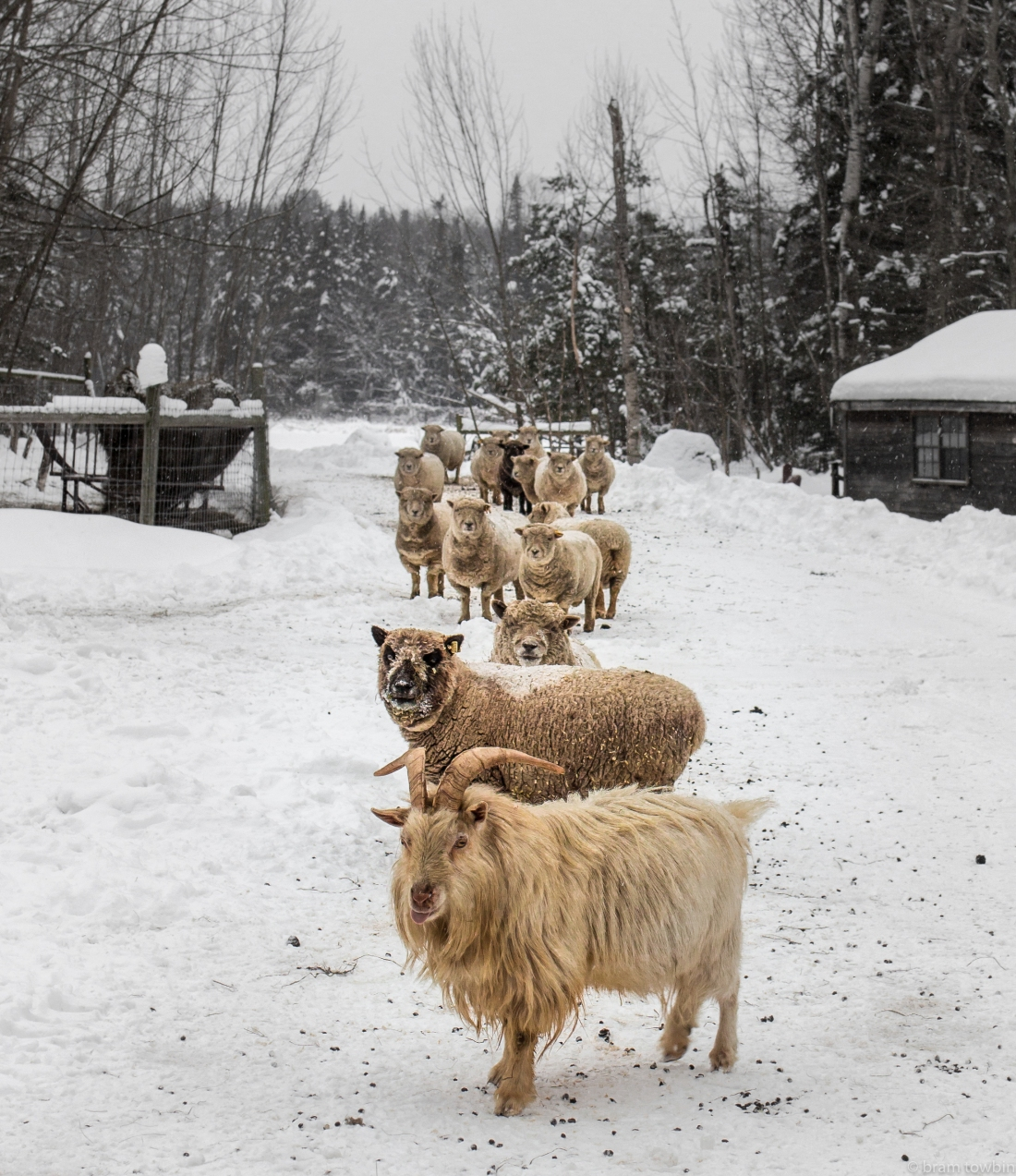 sheep in line snow on driveway goat in leed.jpg