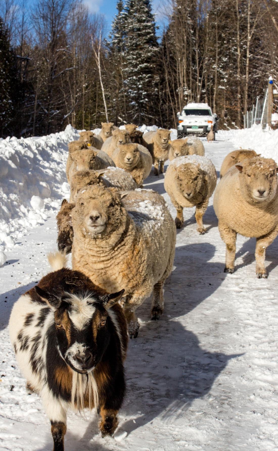 sheep goat snowy driveway.jpg