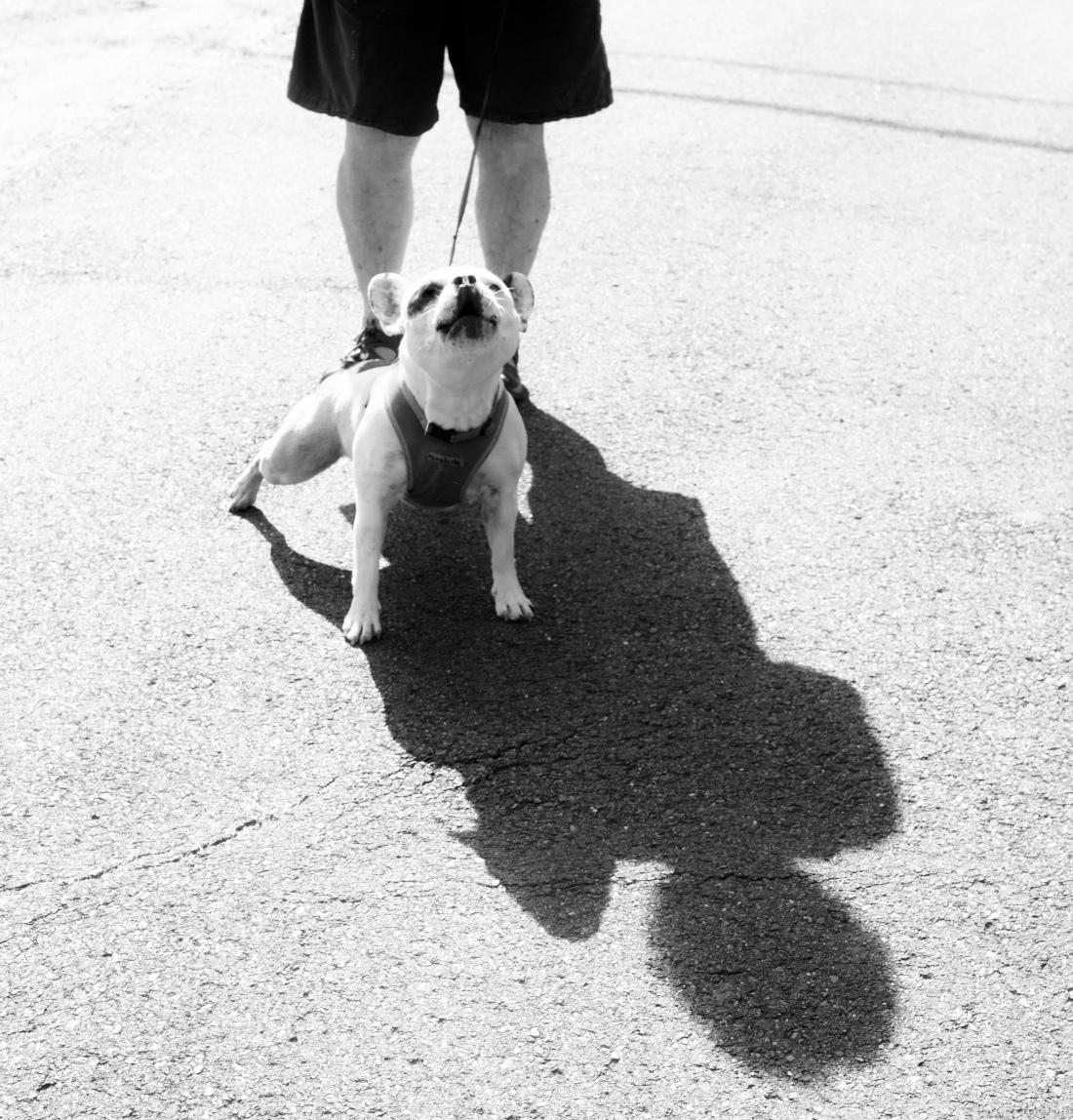 french bulldog on defenive.jpg
