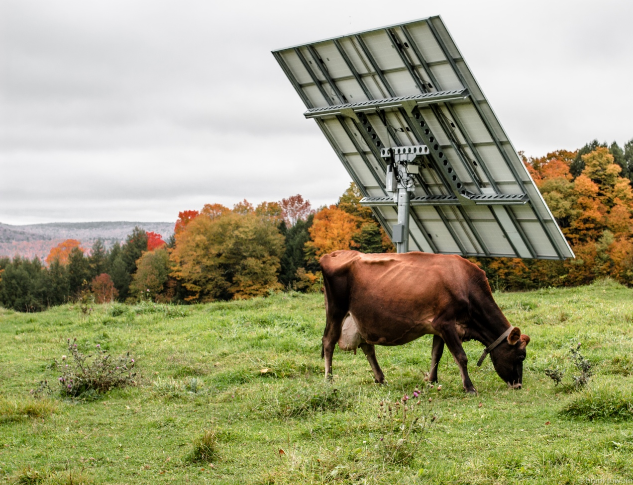 brown jersey by solar panel.jpg