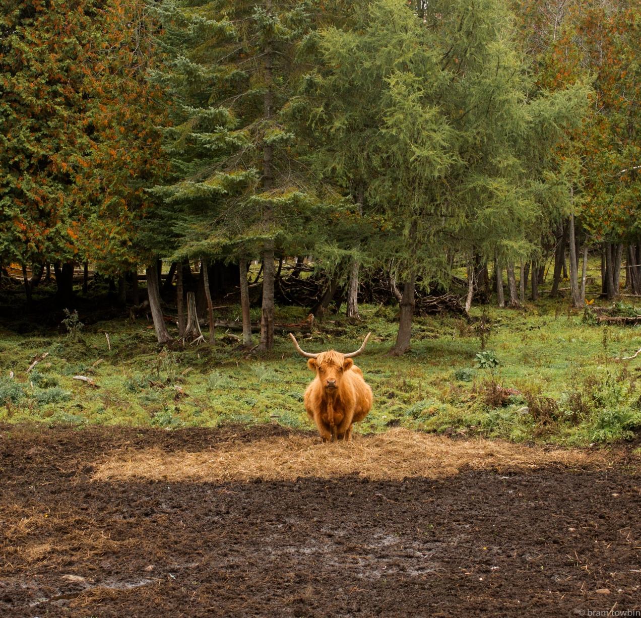 tony highland cow red.jpg