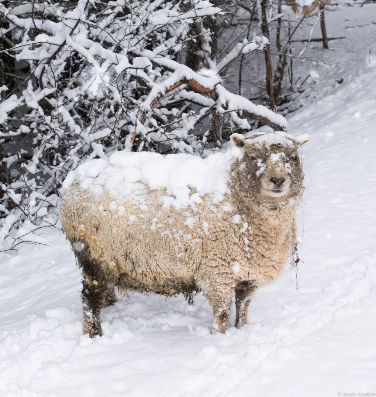 sheep snow on back.jpg